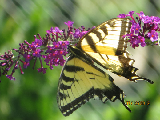 An Eastern Tiger  Swallowtail on a butterfly bush.
