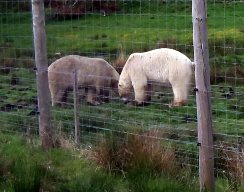 Polar bears at wildlife park