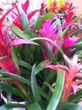 Caring For Bromeliad; Air Plants, Pineapple Plant, Brome