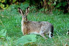 The European Hare