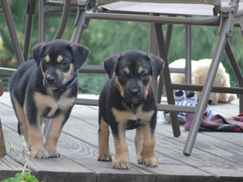 Twin Puppies: Bear and Indie
