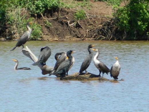 """Double-Crested Cormorants """"Koffee Klatch Klub"""""""