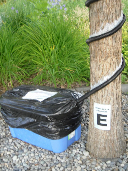 To measure stemflow of rainwater shed from the urban forest canopy, tubing is wrapped and caulked around the tree trunk.  Runoff water flows into the tote, and is measured after each precipitation event.