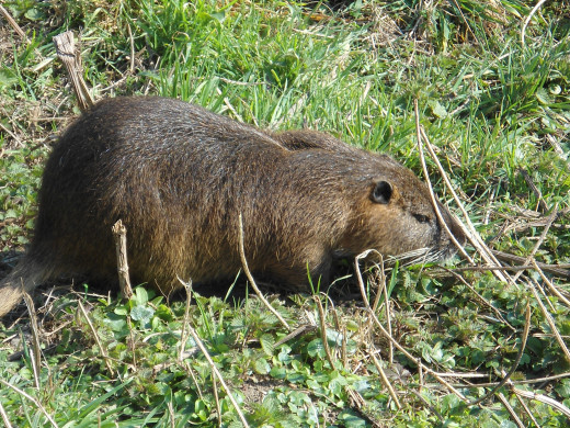 A ragondin or river rat.  Adults are typically 5–9 kg (11–20 lb) in weight.  An individual consumes about 25% of its body weight daily!