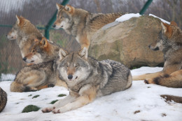Picture of a group of male wolves (Canis lupus lupus).
