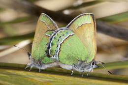 NM State Butterfly: Sandia Hairstreak [7]