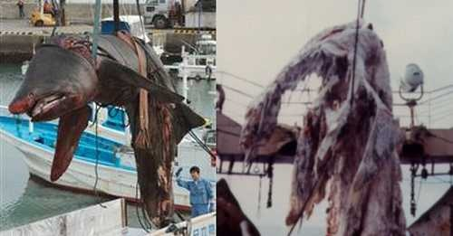 Basking shark carcass compared alongside the carcass hauled up in 1977.