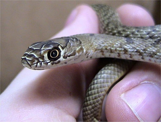 Western Coachwhip. Notice the large eyes in comparison to the small head.  Photo by  Dawson (Creative Commons Attribution ShareAlike 2.5 License).