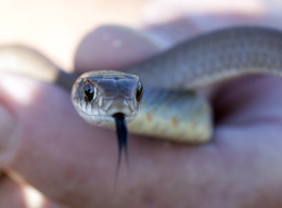 Western Coachwhip. Photo from  Fjguyote  Attribution-Share Alike 3.0