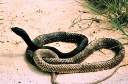 Eastern Coachwhip.  Photo from Natural Estuarine Research Reserve