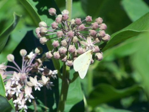 Clouded Sulphur (Colias philodice) on milkweed flower.