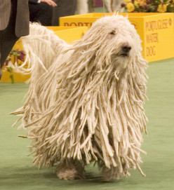 Komondor Dog Breed: Facts, Pictures & Information