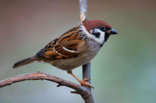 Ang Maya or The Eurasian Tree Sparrow