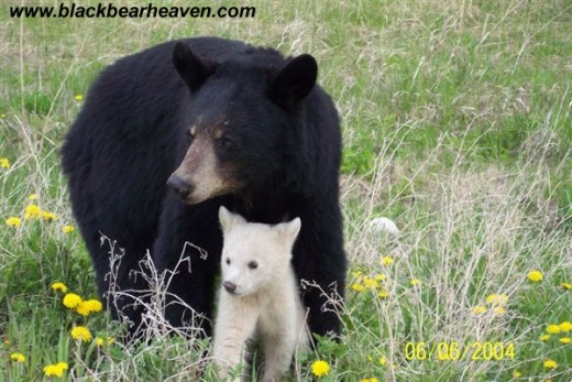 Black bears can be other colors, including (rarely) white.