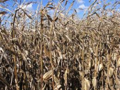 What kind of economic impact can we expect from this years extreme corn supply shortage?