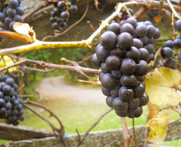 Grapes Ready for Harvesting
