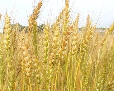 1.wheat (chitah)
