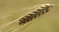 2.barley (se'orah)