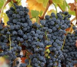 3.grapes (gefen)