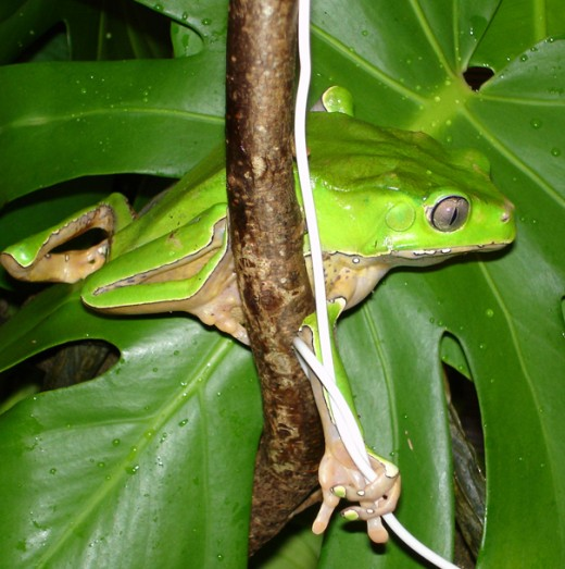 But the giant waxy monkey tree frog eats horrible adult crickets