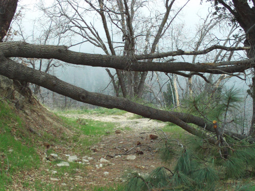 The fallen oak tree up in the San Bernardino Mountains.