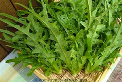The slender loose leaves out last most other lettuces by two or three weeks before bolting.
