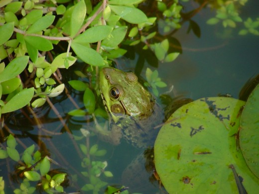 A frog and his lily pad