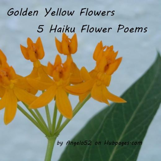 Golden yellow flowers 5 haiku flower poems hubpages brilliant spray of yellow flowers on the silky gold milkweed mightylinksfo