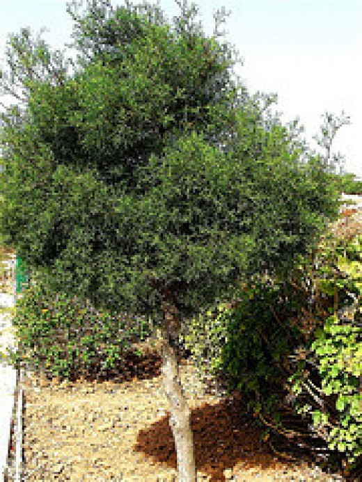 Araar tree that you can find in the Black Mountain near Abha