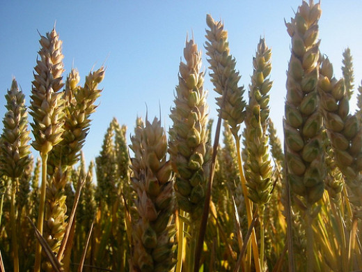 Wheat is the most basic source of gluten in our diets