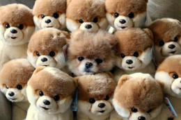 Boo The Dog Hiding With A Bunch Of Boo's