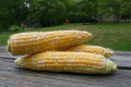 How to Grow Sweet Corn in Your Backyard