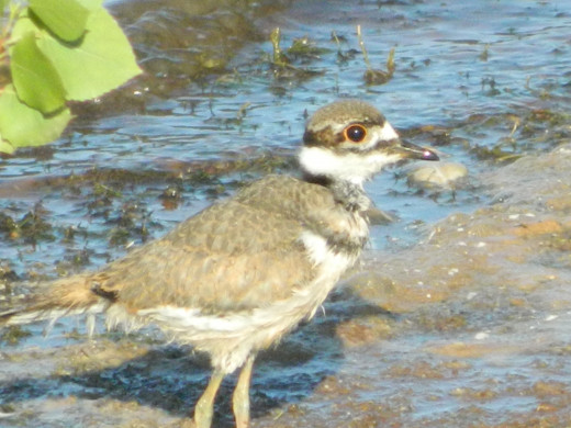 Killdeer Offspring