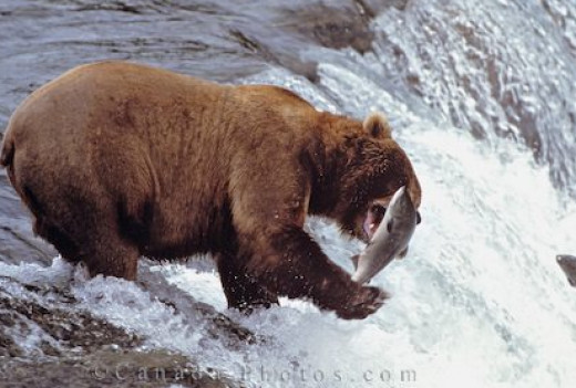 Even a grizzly likes salmon!