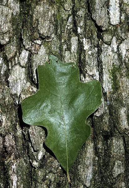 Post oak bark and leaf example