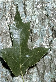 Southern red oak bark and leaf example