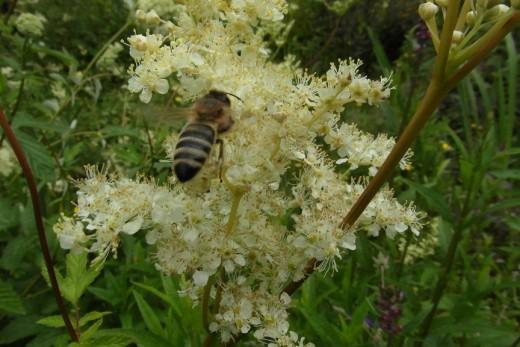 Honeybee on meadowsweet, Townley Park