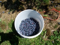 Summer Fun: Let's Pick Blueberries!