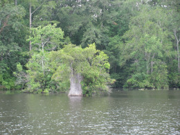 Great Cypress Tree stump growing up out of the River