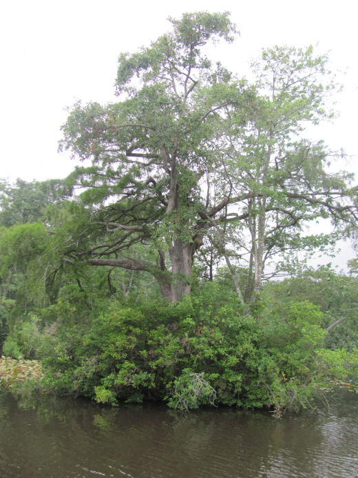 Great Cypress Tree growing up out of the River
