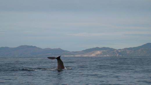 Sperm Whale on a Whale Watching tour in Kaikoura in New Zealand.
