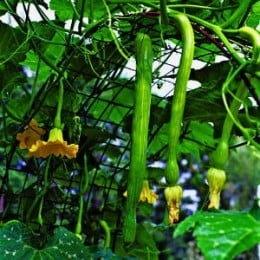 Squash Being Grown In A Vertical Garden.