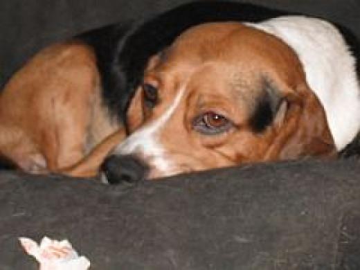 Sad of eye, this Beagle hates having you leave him alone