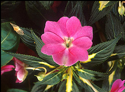 To save space, you can take cuttings of plants like impatiens and geranium for overwintering of your favorite annuals.