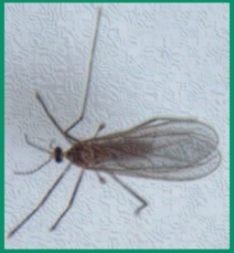 Mostly harmless. Not a mosquito.