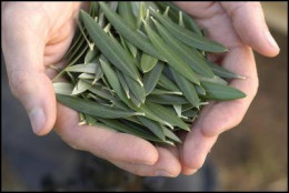 The humble Olive Leaf is believed to have many health benefits