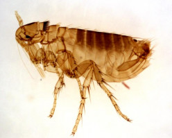 Fleas can multiply quickly in your home.