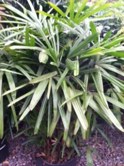 Caring For Rhapis Palm; Lady Palm