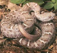 AZ State Reptile: Arizona Ridge-Nosed Rattlesnake [3]