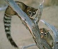 AZ State Mammal: Ringtail Cat [3]
